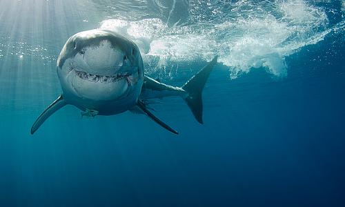 Great white shark swimming toward camera